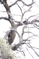 Oaks during ice storm